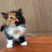 kenapa-sulit-menemukan-kucing-belang-tiga-berkelamin-jantan