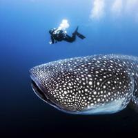 penampakan-hiu-paus-di-pantai-yogyakarta