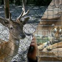 babak-belur-hadapi-pandemi-rusa-akan-39dikorbankan39-untuk-makan-harimau