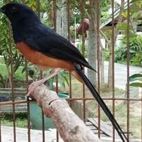 cara-mudah-merawat-burung-murai-batu-tangkapan-hutan