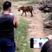 santuy--bukannya-takut-warga-malah-asik--ngerekam--harimau-dari-dekat-gan