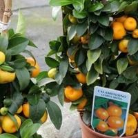 memanfaatkan-pekarangan-rumah-untuk-menanam-buah
