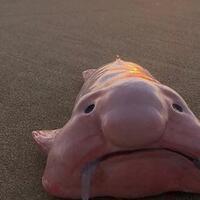 blobfish-ikan-terkenal-yang-mendapat-predikat-buruk-rupa