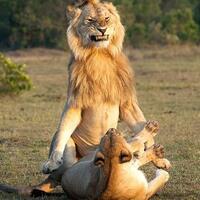 ekspresi-ekspresi-lucu-ketika-singa-jantan-bertemu-dengan-singa-betina