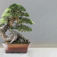 bonsai-tertua-di-dunia-bentuknya-kayak-apa-ya-cekidot-gan-sis