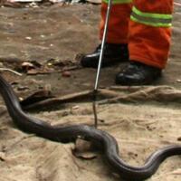 menyikapi-teror-ular-kobra-yang-sedang-viral