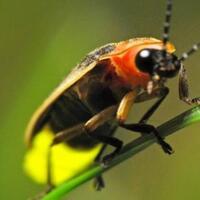 kunang-kunang-pesona-keindahan-yang-semakin-memudar