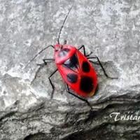 japanese-red-bug-kisah-perjuangan-sang-ibu-serangga