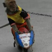 sarimin-tak-lagi-ke-pasar-karena-disiksa--fakta-pahit-topeng-monyet-di-indonesia