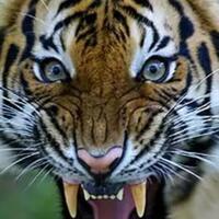 berapa-sih-jenis-harimau-cari-tau-yuk