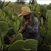 kok-bisa-di-negara-ini-kaktus-jadi-makanan-pokok