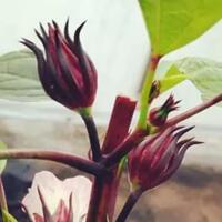 beberapa-jenis-bunga-yang-bisa-dikonsumsi