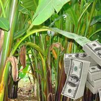 ternyata-uang-dollar-dibuat-dari-serat-pisang-di-kabupaten-talaud-bentuknya-begini