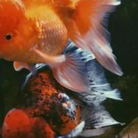 4-jenis-ikan-hias-yang-dipercaya-mampu-membawa-hoki-bagi-pemiliknya
