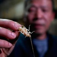 peternakan-kecoa-di-china-ini-dibuat-untuk-konsumsi-manusia