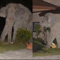 viral--aksi-kucing--usir--gajah-dari-rumah-majikan-bikin-kagum-netizen