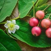 7-buah-buahan-lokal-yang-dulu-sering-digunakan-sebagai-amunisi-untuk-bermaian-ketapel