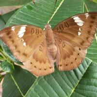 mengenal--baron-caterpillar--ulat-yang-jago-menyamar-dan-cara-mengobati-gigitannya