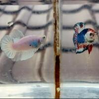 breeding-ikan-cupang-tak-semudah-di-channel-youtube-serta-tips-sebagai-pemula