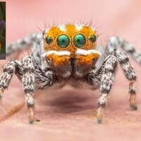 the-maratus-nemo-laba-laba-paling-cerah-berukuran-mini-yang-mirip-dengan-nemo
