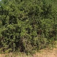 pohon-gharqad-seperti-apakah-itu