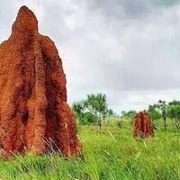 mengenal-musamus-dari-merauke-rumah-semut-raksasa-yang-langka-didunia