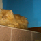persia-peaknose-red-taby
