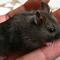 hamster-cikarang-black-and-white