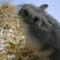 hamster-cikarang-campbell-normal