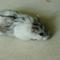 hamster-cikarang-normal-mottled