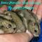 hamster-cikarang-winter-white-normal