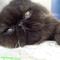 kucing-perisa-pignose-tasikmalaya