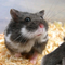 hamster-cikarang-black-corral-campbell