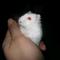 hamster-cikarang-hybrid-pearl-yellow-line-red-eyes