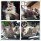 di-jual-kucing-tipe-calico-flatnose-long-hair