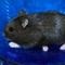 hamster-cikarang-black-campbell