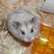 hamster-campbell-cikarang