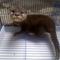 otter---linsang-berang2-jantan-4-bulan