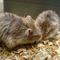 hamster-campbell-dove-satin-cikarang