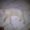 kucing-persia-betina-white-solid-murah-gansikattt