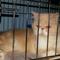 kucing-persia-peaknose-extreme-longhair-jantan-11-bulan