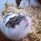 hamster-campbell-mottled-black-cikarang