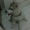 siberian-husky-puppy-9weeks-champion-bloodline
