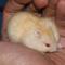 hamster-golden-red-eyes-cikarang
