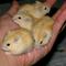 hamster-hybrid-golden-black-eyes-cikarang