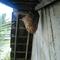 sarang-tawon-jumbo-di-rumah-mbah-ane-gan
