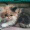 kitten-persia-peaknose-calico-pedigree-blood