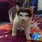 pengalaman-mengenalkan-kucing-ke-emak-mertua-ane