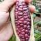 jagung-ungu-yang-kaya-manfaat
