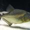 piranha-addicted